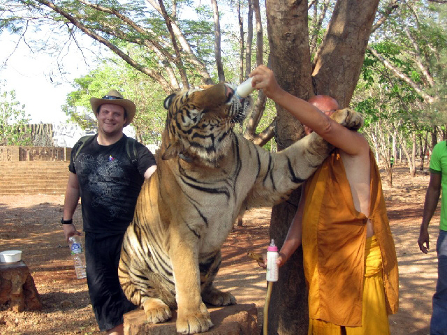 A Buddhist monk bottle-feeding a tiger at Tiger Temple in Kanchanaburi in Thailand