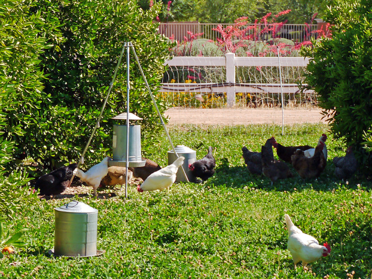 Agritopia's chickens have a huge space to run around and eat among the orange trees