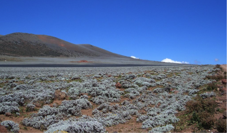 """Everlasting flower"" in the Bale Mountains"