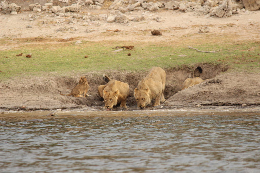 lions, river, water, africa